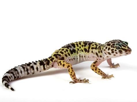 Leopard Gecko Care Sheet