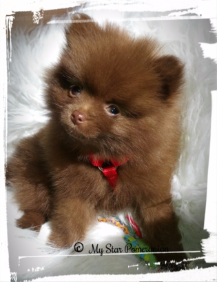 Chocolate Male Pomeranian