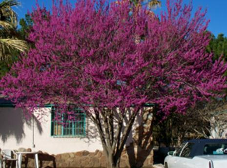Ornamental trees mexican redbud great small space tree especially adapted for the conditions of the desert southwest brilliant rose violet blooms appear in spring just mightylinksfo