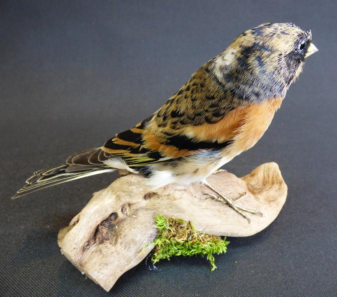 Adrian Johnstone, professional Taxidermist since 1981. Supplier to private collectors, schools, museums, businesses, and the entertainment world. Taxidermy is highly collectable. A taxidermy stuffed male Brambling (9640) in excellent condition.