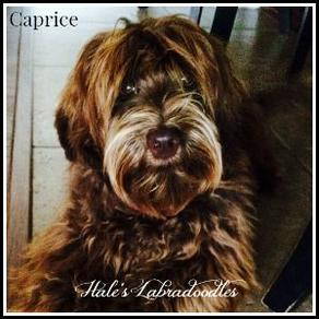 Hale's Australian Labradoodle named Caprice