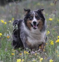 Alpine is an Australian Shepherd male