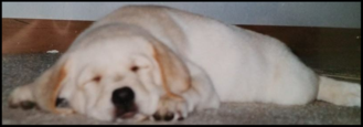 English Yellow Lab Puppy