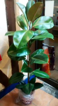 Large Rubber Plant | Indoor plants online | House plants | The Little Flowershop