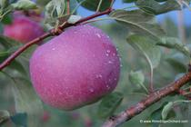 Rim's Edge Orchard Pick Your Own Paula Red Apple