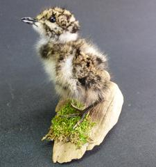 Adrian Johnstone, professional Taxidermist since 1981. Supplier to private collectors, schools, museums, businesses, and the entertainment world. Taxidermy is highly collectable. A taxidermy stuffed Lapwing Chick (44), in excellent condition.