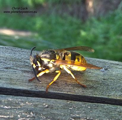 Common-wasp-Queen-in-France