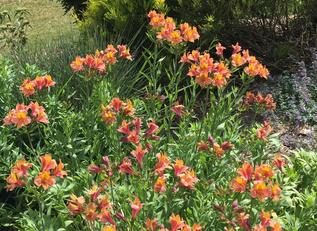 Daylilies add drought-tolerant color
