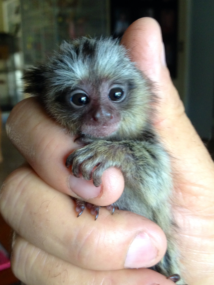 Pygmy Marmoset Baby For Sale