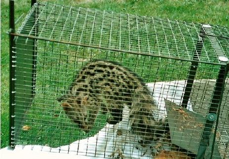 Cage-trapped-Genet-in-France-before-release