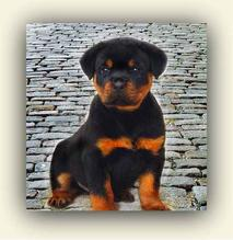 German Rottweiler Puppies currently for sale.