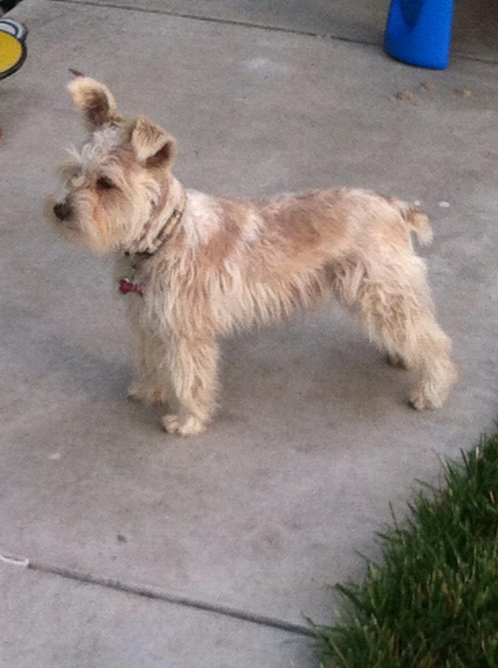 Miniature Schnauzer Puppies For Sale Bay Area Schnauzers San