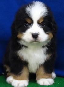 Home - Big Star Kennel: Puppies for Sale in Iowa