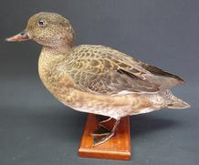 Adrian Johnstone, Professional Taxidermist since 1981. Supplier to private collectors, schools, museums, businesses and the entertainment world. Taxidermy is highly collectible. A taxidermy stuffed Wigeon (9521), in excellent condition.
