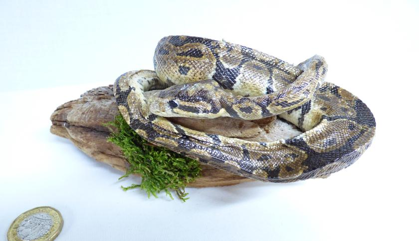 Adrian Johnstone, Professional Taxidermist since 1981. Supplier to private collectors, schools, museums, businesses and the entertainment world. Taxidermy is highly collectable. A taxidermy stuffed Python (41), in excellent condition.