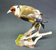 Adrian Johnstone, professional Taxidermist since 1981. Supplier to private collectors, schools, museums, businesses, and the entertainment world. Taxidermy is highly collectable. A taxidermy stuffed adult Goldfinch (8870), in excellent condition.