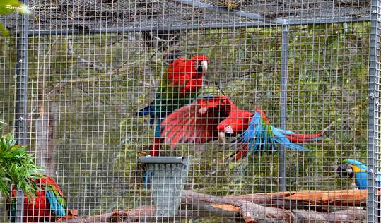 Green Winged Macaws for sale Sydney