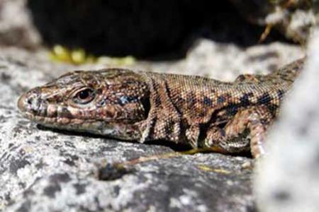Wall-lizard-in-French-gardens