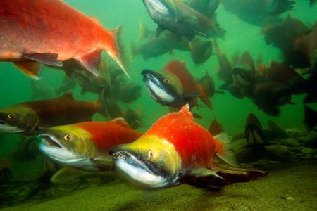 Fall Fish Festival, formerly Kokanee Salmon Festival, at Lake Tahoe