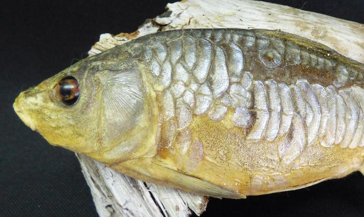 Adrian Johnstone, professional Taxidermist since 1981. Supplier to private collectors, schools, museums, businesses, and the entertainment world. Taxidermy is highly collectable. A taxidermy stuffed young Mirror Carp (1), in excellent condition.