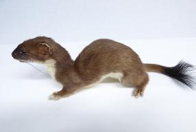 Adrian Johnstone, professional Taxidermist since 1981. Supplier to private collectors, schools, museums, businesses, and the entertainment world. Taxidermy is highly collectable. A taxidermy stuffed adult Mole (94), in excellent condition.