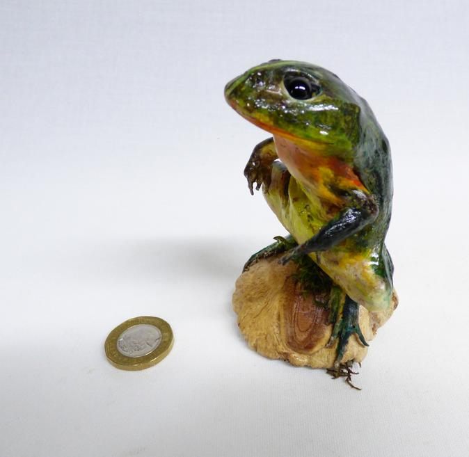Adrian Johnstone, professional Taxidermist since 1981. Supplier to private collectors, schools, museums, businesses, and the entertainment world. Taxidermy is highly collectable. A taxidermy stuffed Green Frog (580) in excellent condition. Mobile: 07745 399515 Email: adrianjohnstone@btinternet.com