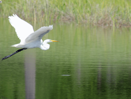 White Bird Flying Over Pond