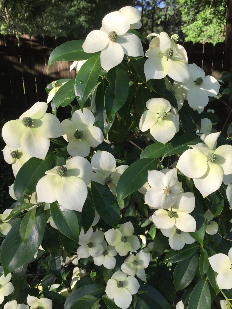Dogwoods open sciox Image collections