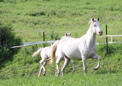 OMM Upla 2008 Perlino Morgan Mare pictured with her 16 filly.