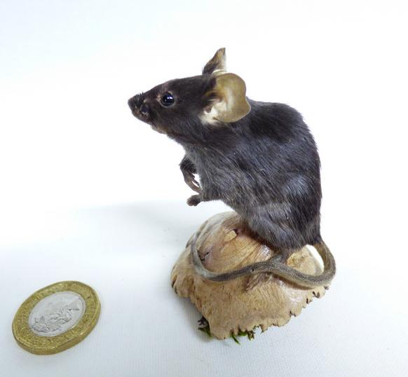 Adrian Johnstone, professional Taxidermist since 1981. Supplier to private collectors, schools, museums, businesses, and the entertainment world. Taxidermy is highly collectable. A taxidermy stuffed Black Mouse (574), in excellent condition. Mobile: 07745 399515 Email: adrianjohnstone@btinternet.com