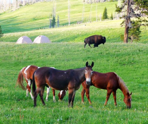Yellowstone National Park, pack trips, horses, mules, bison, camping