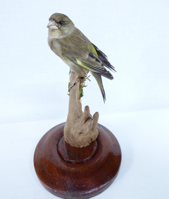 Adrian Johnstone, professional Taxidermist since 1981. Supplier to private collectors, schools, museums, businesses, and the entertainment world. Taxidermy is highly collectible. A taxidermy stuffed adult Greenfinch (9883), in excellent condition.