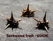 Tackweed Fruit-ouch