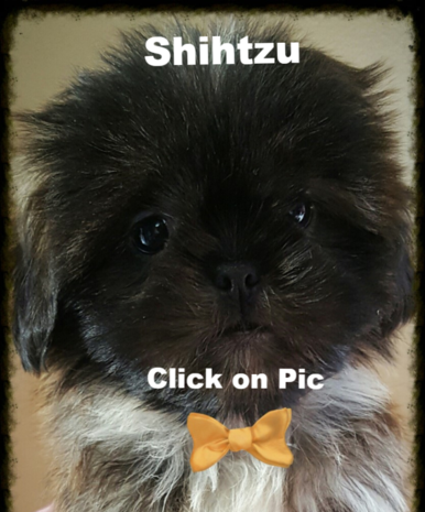 ShihTzu puppies for sale in KY