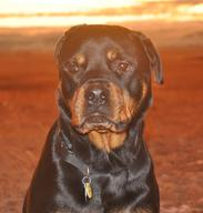 "Roman ""The Romancer"" our Rotty"