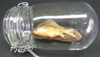 Adrian Johnstone, professional Taxidermist since 1981. Supplier to private collectors, schools, museums, businesses, and the entertainment world. Taxidermy is highly collectable. A taxidermy stuffed young Mirror Carp In Jar (9), in excellent condition.
