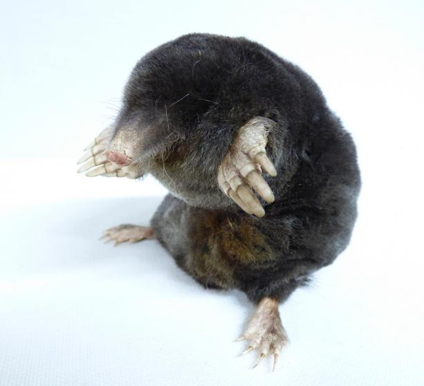 Adrian Johnstone, professional Taxidermist since 1981. Supplier to private collectors, schools, museums, businesses, and the entertainment world. Taxidermy is highly collectable. A taxidermy stuffed Sitting Mole (17), in excellent condition.