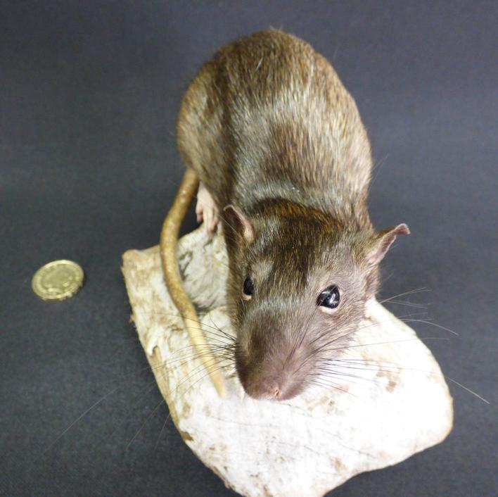 Adrian Johnstone, professional Taxidermist since 1981. Supplier to private collectors, schools, museums, businesses, and the entertainment world. Taxidermy is highly collectable. A taxidermy stuffed Brown Rat (30), in excellent condition.