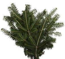 fraser fir boughs