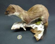 Adrian Johnstone, Professional Taxidermist since 1981. Supplier to private collectors, schools, museums, businesses and the entertainment world. Taxidermy is highly collectable. A taxidermy stuffed Stoat (42), in excellent condition.