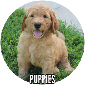 Hillside Happy Hybrids | Goldendoodle Puppies