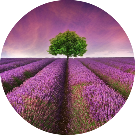 Young Living Lavender Field