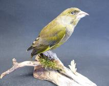 Adrian Johnstone, professional Taxidermist since 1981. Supplier to private collectors, schools, museums, businesses, and the entertainment world. Taxidermy is highly collectable. A taxidermy stuffed adult male Greenfinch (9690), in excellent condition.