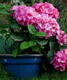 Pink Hydrangea Garden plants-the little flower shop florist garden shop garden centre online