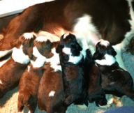 Graystone Manor - English Springer Spaniel Puppies