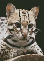 Cross Stitch Chart Pattern of an Ocelot