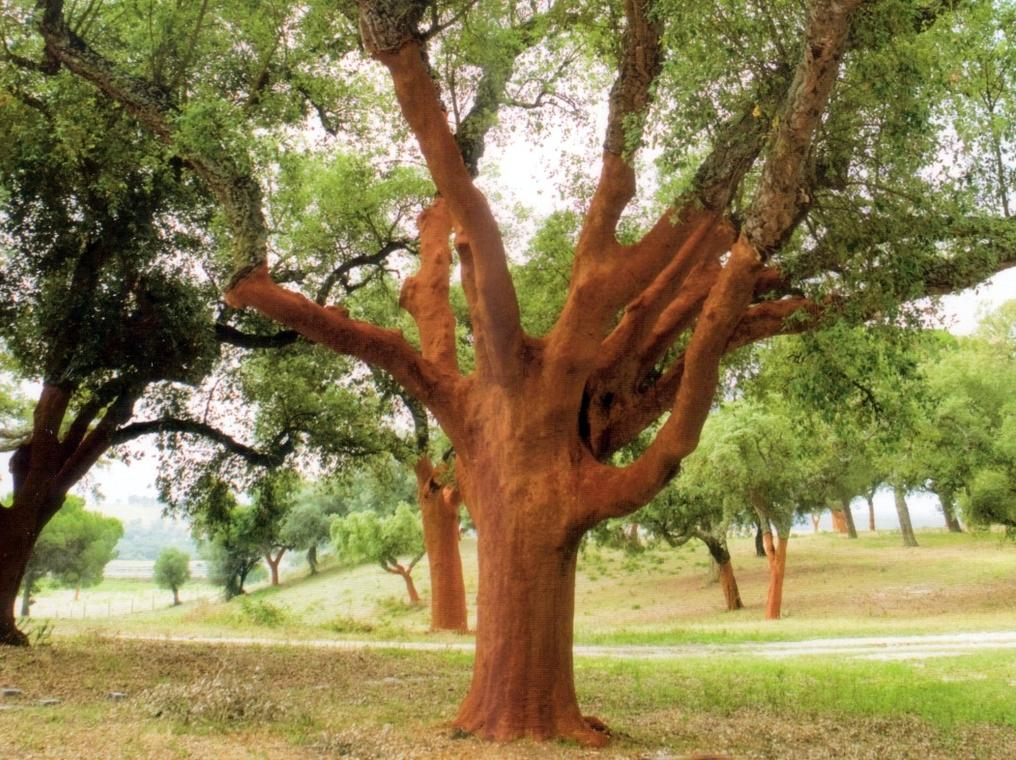picture of a big cork tree