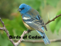 Lazuli Bunting photo link to Birds of Colwell Cedars page.