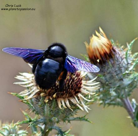 Carpenter-bee-on-Carline-thistle-France