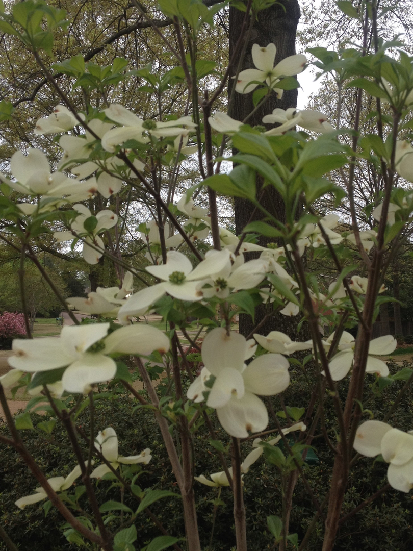 Dogwoods 5576 sciox Image collections